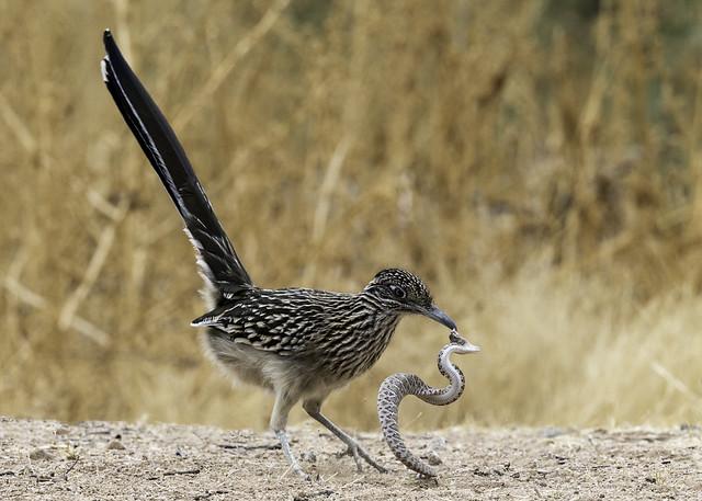 Greater Roadrunner vs Western diamondback rattlesnake