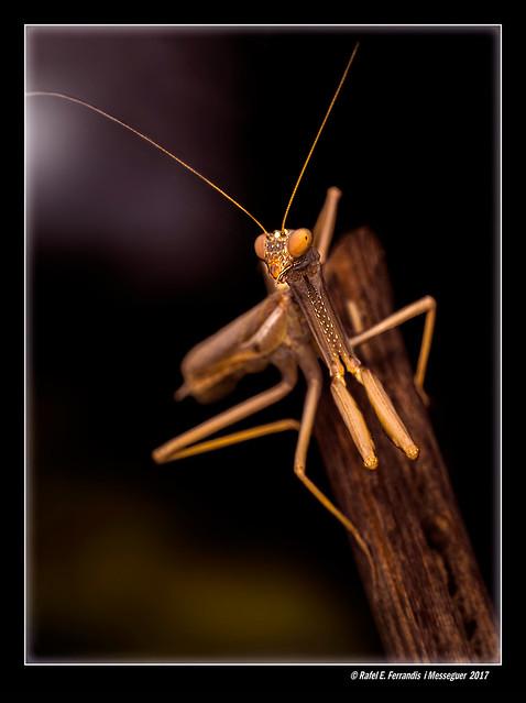 Pregadéu 15 (Mantis religiosa) Praying Mantis (Moixent, la Costera, València, Spain)