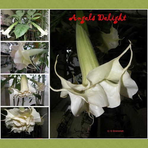 Angels-Delight | by gondagrammet