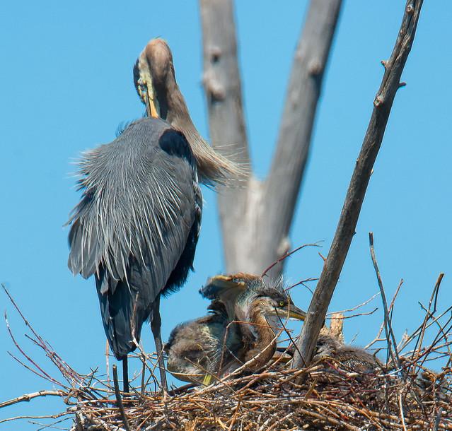 Grand Héron, Great Blue Heron (10)