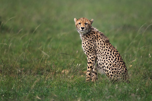 Spotted by a Cheetah