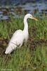 Plumed Egret - Ardea plumifera by arthurgrosset