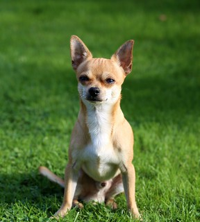 chihuahua-466240_1280 | by localpups