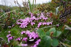 Spring tundra flowers