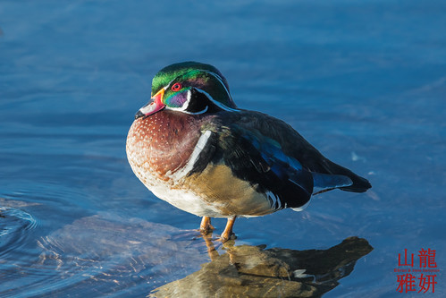 Wood Duck Drake | by DragonSpeed
