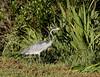 Black-headed heron (Ardea melanocephala) jv, Stellenbosch by Héctor Bottai