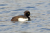 Tufted Duck, Kirkgate, Loch Leven, Perthshire, Scotland by Terathopius
