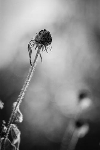 Rudbeckia | by chrism229