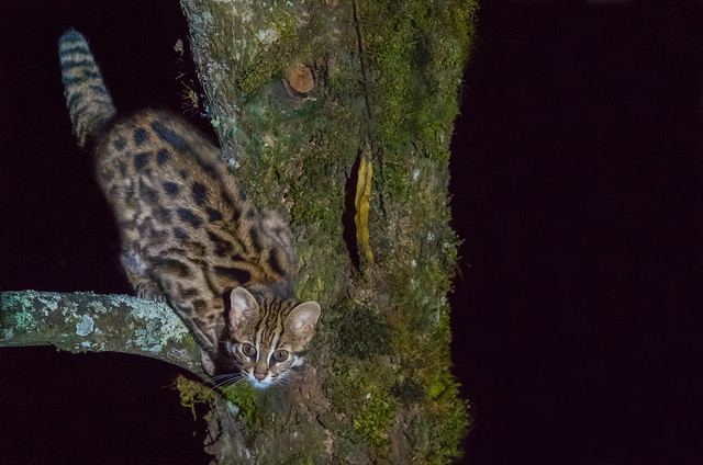 Chinese Leopard Cat