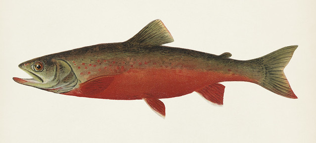 Canadian Red Trout illustrated by Sherman F. Denton (1856-1937) from Game Birds and Fishes of North America. Digitally enhanced from our own 1913 Portfolio Edition of the book.