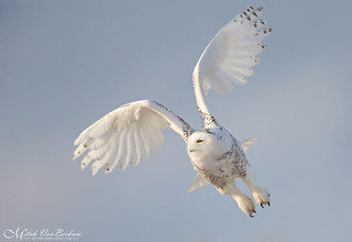 Just a Little Patience (Snowy Owl) - Explored | by Mitch Vanbeekum Photography