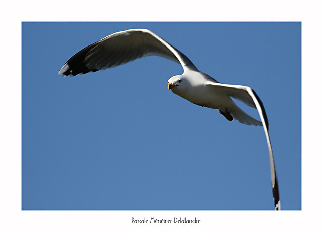 Goéland Leucophée - Yellow-legged Gull