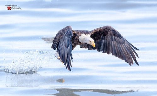 baldeagle eagle blurredbackground capture closeup detail extremecloseup eye eyelevelview fish fishing inflight mississippiriver outdoors profileview raptor river selectivefocus singleanimal splash sunny water wholebody wildlife wingsspread winter bettendorf iowa unitedstates us