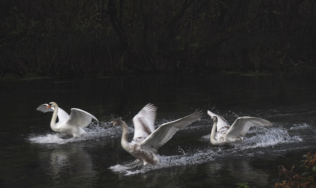 swans landing on the River Itchen