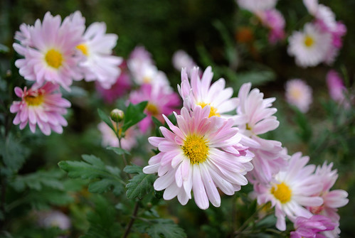 Pink Daisies | by ChristianRock
