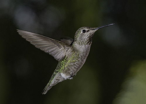 calypteanna hummingbird hummer nature natural beauty offcameraflash naturalbeauty bareflash ambientbackground birdinflight bif poway