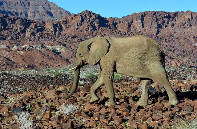 Desert Elephant in Damaraland, Namibia.