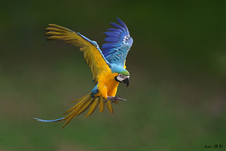 Parrot in flight #3 | by Ken Goh thanks for 3 Million views