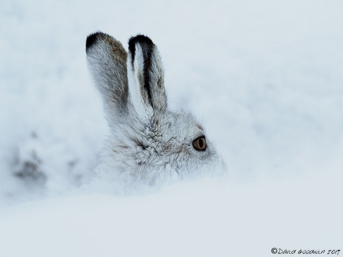 Mountain Hare   by D Goodwin