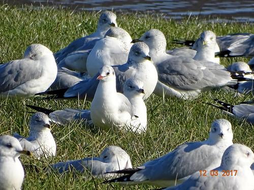 blackheadedgull morainestatepark butlercounty pa sonyhx400v