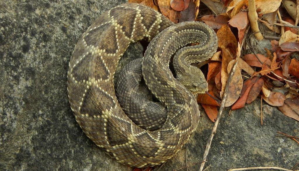 Squamata: Viperidae