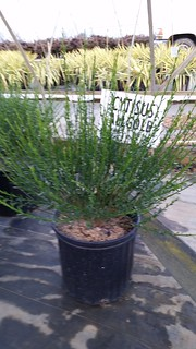 Cytisus Allgold 3 gal | by Johnson Farms