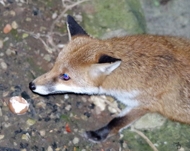 Urban red fox english garden 14 nov 2017 (4)