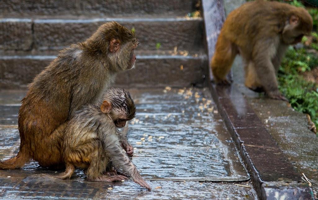 in Kathmandu_06 monkies