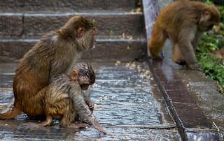 in Kathmandu_06 monkies | by Valentin Groza