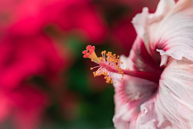 Chinese Hibiscus 2