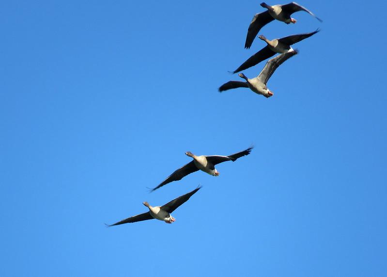Pink-footed Goose - Anser brachyrhynchus