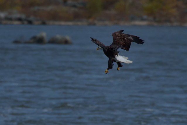 Conowingo Bald Eagles