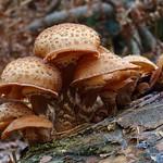 Dark Honey Fungus