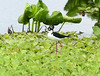 Cigüeñuela, Black-necked Stilt (Himantopus mexicanus) (Himantopus himantopus mexicanus) by Francisco Piedrahita