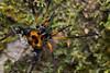 Opilión macho (Sadocus polyacanthus) - Male