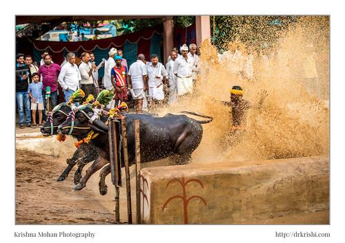 2017 asia buffalorace canonef70200mmf28lisiiusm canoneos5dmarkiv dakshinakannada india kadalakere kadalkere kadlakere kambala karnataka kdalakerenisargadhama kotichennayakambala kotichennayyakambala moodabidri singapore
