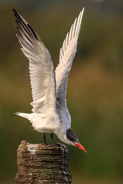 Caspian Tern Stretch