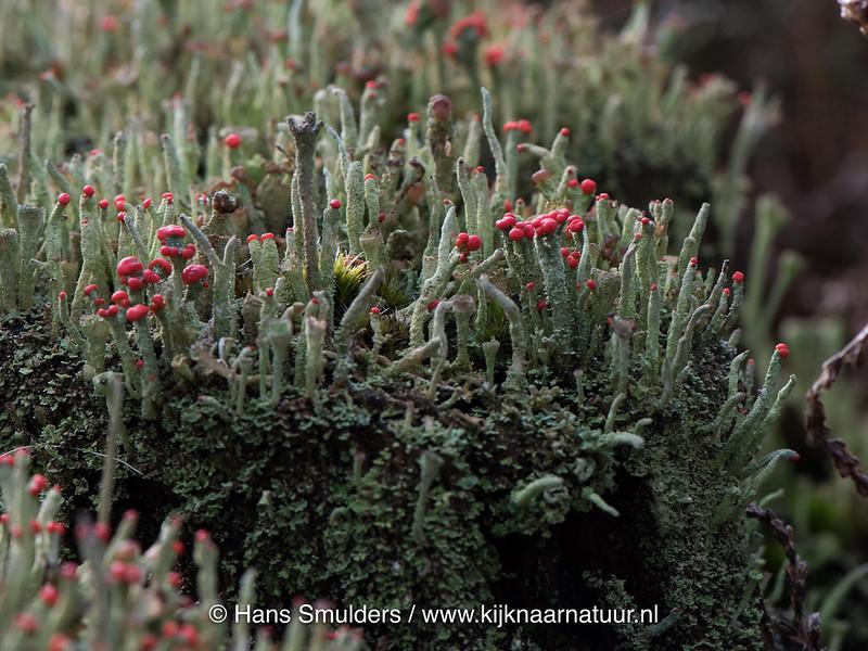 Lucifermos (Cladonia floerkeana)-817_0599-bewerkt