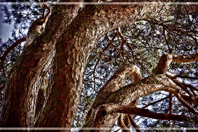 Pine Tree!