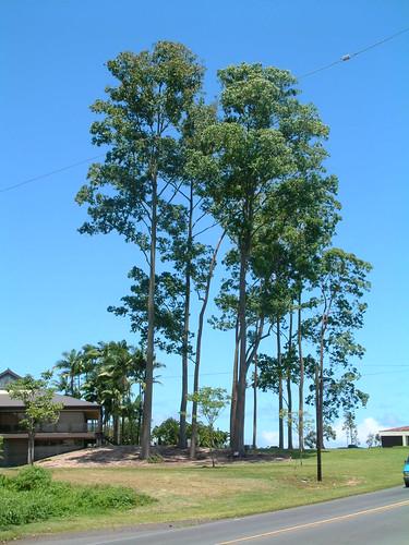 eucalyptus eucalyptusdeglupta myrtaceae