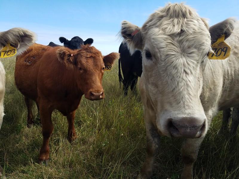cows in pen