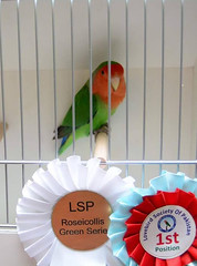 Lovebird Society of Pakistan 2017 - roseicollis - Khan Assad