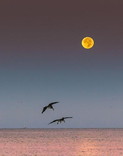 full moon lunar phase early morning dawn longboat key florida gulf coast pelicans fishing boat gulls marine shorebirds