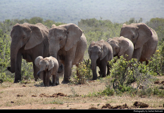 Elephant herd, Addo Elephant NP, South Africa