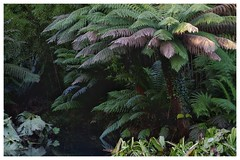 Tree Ferns & Gunnera