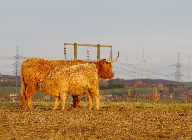 Highland cattle sheffield (2)