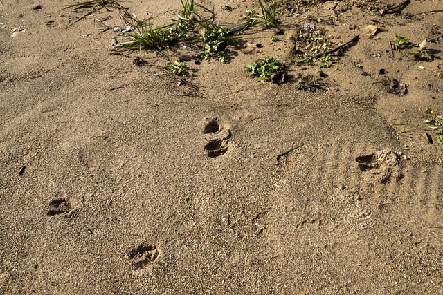 Deer tracks, Putnam County, Tennessee