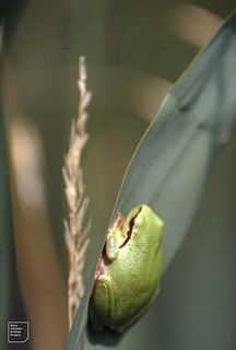 Green tree frog. Hyla arborea. Bee eater site. Camargue