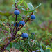 Bog Bilberry - Photo (c) Nikita Tiunov, some rights reserved (CC BY-NC-ND)