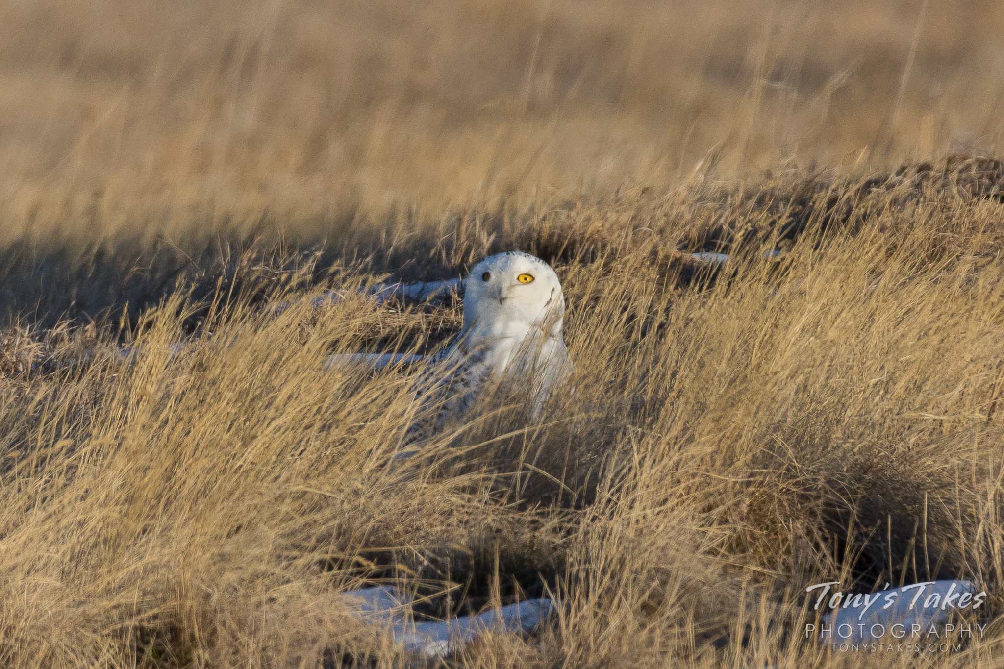 A Snowy Owl keeps watch from the grasses or a suburban park near Denver, Colorado.  (© Tony's Takes)